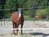 Hester i luftegården